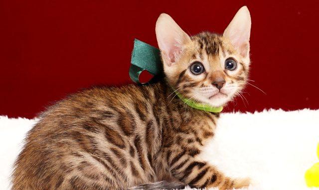 ベンガルの子猫2018年2月3日生まれ 471番みどり君