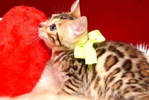 ベンガルの子猫 2019/3/4生 661番イエロー メス1