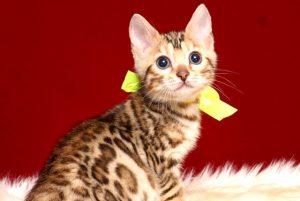 ベンガルの子猫 2019/3/4生 661番イエロー メス2