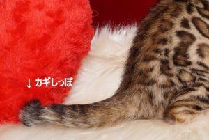 ベンガルの子猫 2019/3/4生 661番イエロー メス3