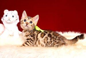 ベンガルの子猫 2019/3/4生 661番イエロー メス6
