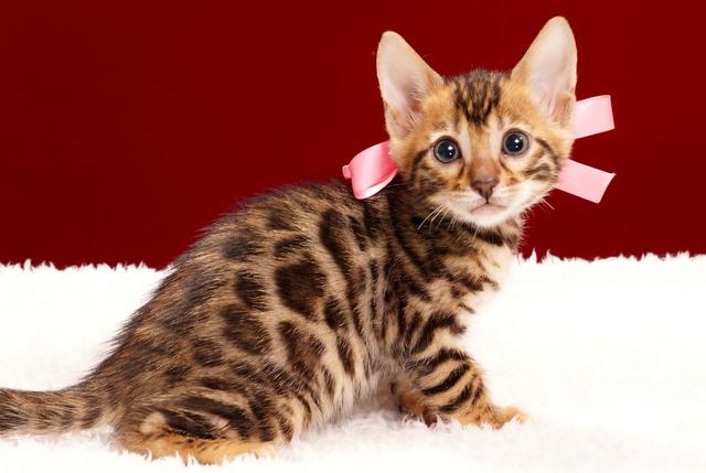ベンガルの子猫2018年2月3日生まれ 472番ももいろちゃん