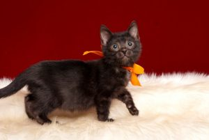 ベンガルの子猫 2019/3/4生 659番オレンジ メス5