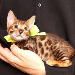 ベンガルの子猫 2017年6月19日生まれ369番イエローちゃん