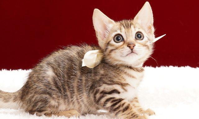 ベンガルの子猫2018年2月5日生 465番ホワイト