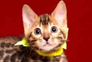 ベンガルの子猫 2019/3/21生 672番イエロー メス1
