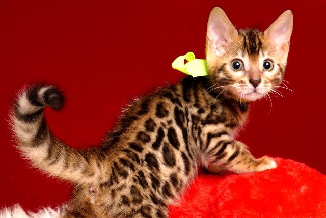 ベンガルの子猫 2019/3/21生 672番イエロー メス3