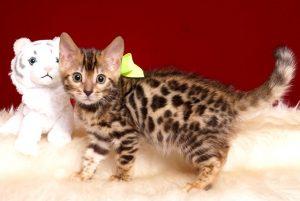 ベンガルの子猫 2019/3/21生 672番イエロー メス4