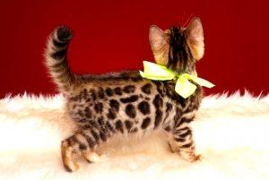 ベンガルの子猫 2019/3/21生 672番イエロー メス5