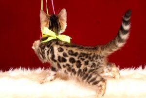 ベンガルの子猫 2019/3/21生 672番イエロー メス6