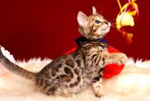 ベンガルの子猫 2019/3/13生 671番ブラック オス3