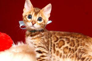ベンガルの子猫 2019/3/13生 669番アクア オス2