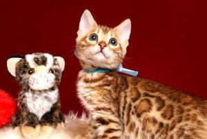 ベンガルの子猫 2019/3/13生 669番アクア オス6