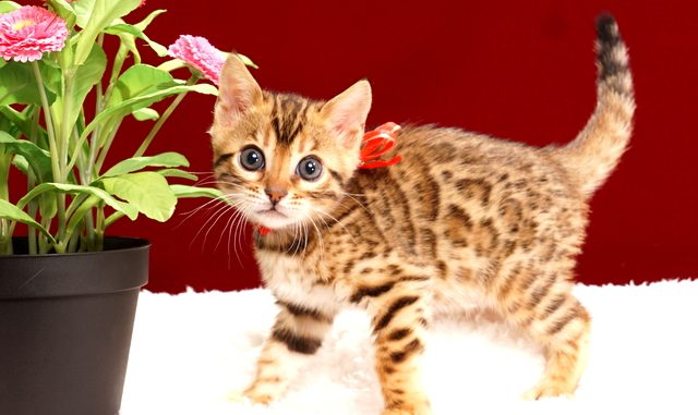 ベンガルの子猫2018年2月7日生 473番レッド