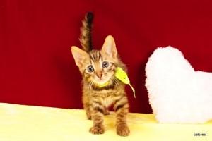 ベンガルの子猫2016年2月5日生まれ 201番クロ君