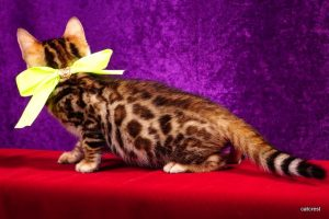 ベンガルの子猫2016年8月18日生まれ 256番イエローちゃん