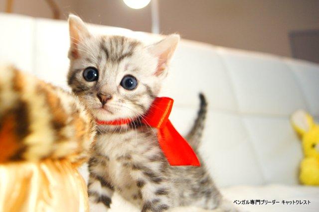 シルバーベンガルの子猫