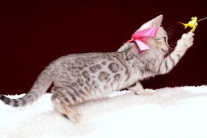 ベンガルの子猫2018年2月7日生 475番ピンク