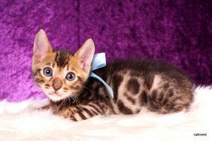 ベンガルの子猫2016年8月28日生まれ 261番ミズイロくん