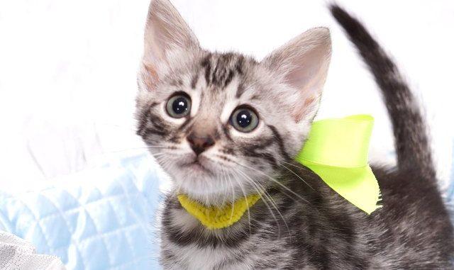 ベンガルの子猫 2019/4/13生 703番イエロー メス3