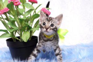 ベンガルの子猫 2019/4/13生 703番イエロー メス7