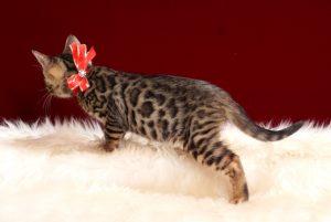 ベンガルの子猫2018年2月15日生 479番レッド