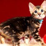 ベンガルの子猫 2019/4/6生 677番アクア オス2