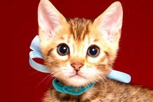 ベンガルの子猫 2019/4/13生 678番アクア オス1