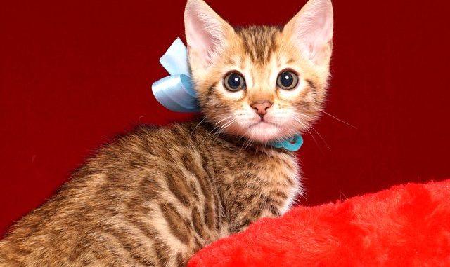 ベンガルの子猫 2019/4/13生 678番アクア オス2