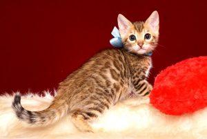 ベンガルの子猫 2019/4/13生 678番アクア オス3