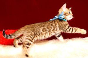 ベンガルの子猫 2019/4/13生 678番アクア オス5