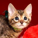 ベンガルの子猫 2019/4/13生 679番グリーン オス1
