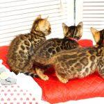 2019年4月生まれのベンガルの子猫たち1