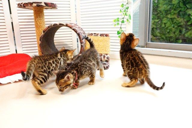 2019年4月生まれのベンガルの子猫たち3