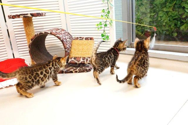 2019年4月生まれのベンガルの子猫たち2