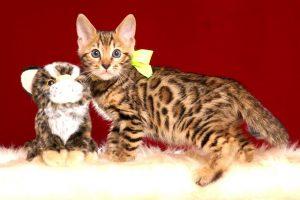 ベンガルの子猫4/18生 710番イエロー オス1