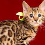 ベンガルの子猫4/18生 710番イエロー オス2