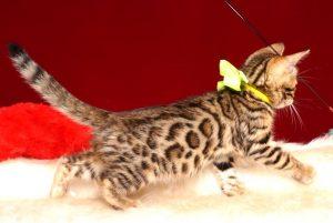 ベンガルの子猫4/18生 710番イエロー オス5