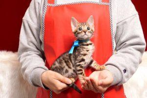 ベンガルの子猫4/15生 709番ブルー オス1