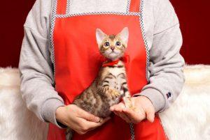 ベンガルの子猫4/15生 708番レッド メス1