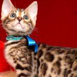 ベンガルの子猫4/15生 709番ブルー オス3