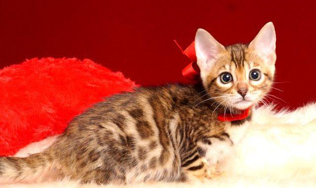 ベンガルの子猫4/15生 708番レッド メス2