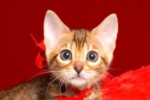 ベンガルの子猫4/15生 708番レッド メス3