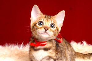 ベンガルの子猫4/15生 708番レッド メス6