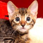 ベンガルの子猫4/13生 704番グリーン オス1