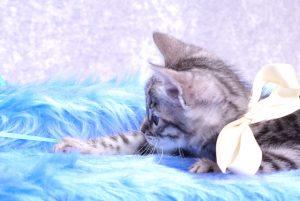 ベンガルの子猫2018年3月5日生 493番しろ