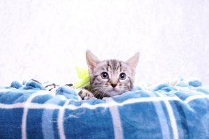 ベンガルの子猫2018年3月5日生 492番きいろ