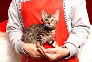 ベンガルの子猫4/13生 704番グリーン オス5