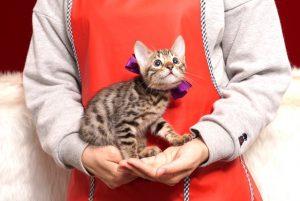 ベンガルの子猫4/13生 700番パープル メス1