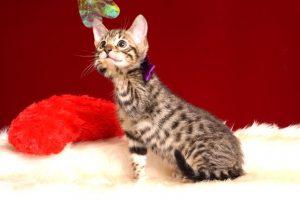 ベンガルの子猫4/13生 700番パープル メス2